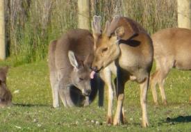 Snake Island - Deer