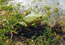Snake Island - Frog
