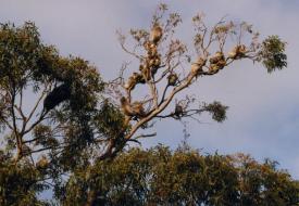 Snake Island - Koalas