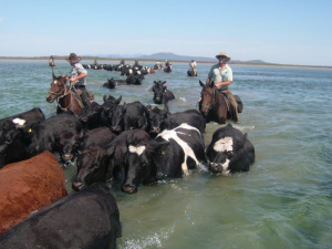 Herding cattle out to Snake Island